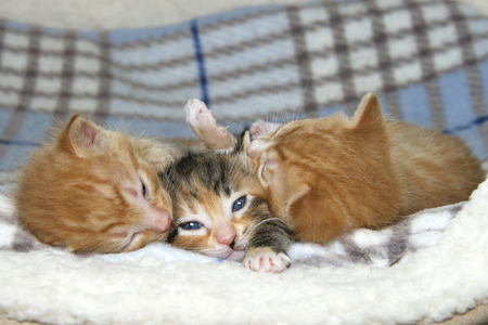 Three week old kittens on sheepskin and fluffy gray and blue stripped blanket. One female tortie torbie tabby between two male orange stripped tabbies. Female paw stretched out like save me.