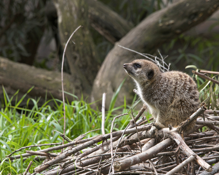 Side view of single meerkat crouched down on a pile of branches, looking for predators in the distance.