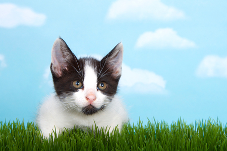 black and white  tabby kitten in tall grass with blue sky background white fluffy clouds. crouched down to pounce Banque d'images - 117127992