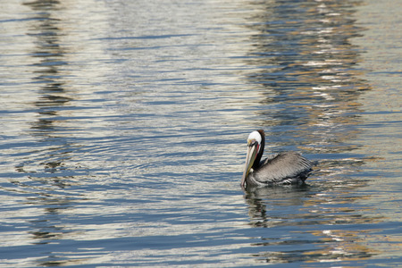Brown Pelican swimming on the water on a sunny afternoon looking for fish to eat.