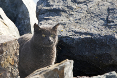 Abandoned, Stray or Feral grey Chartreux cat hiding in the rocks at the beach. Trap-neuter-return programs help keep the feral cat population down.