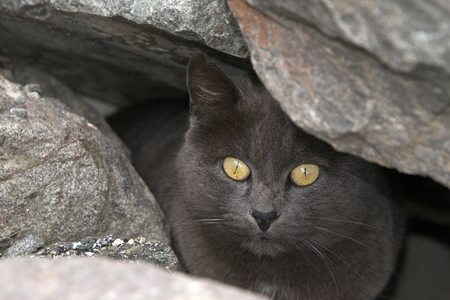 Abandoned, Stray or Feral grey Chartreux cat hiding in the rocks at the beach. Trap-neuter-return programs help keep the feral cat population down. Close up on face peaking out of rocks