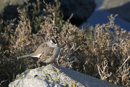 white-crowned sparrow have black and white stripes on their head, a gray face, brown streaked upper parts and a long tail, wings are brown with bars and the underparts are gray, bill is pink or yellow