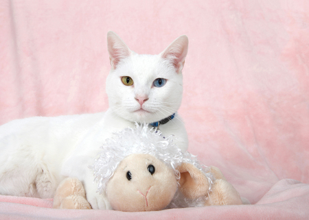 Adorable white kitten with heterochromia, odd-eyed, laying on a pink blanket looking directly at viewer while holding her favorite stuffy protectively. Banque d'images