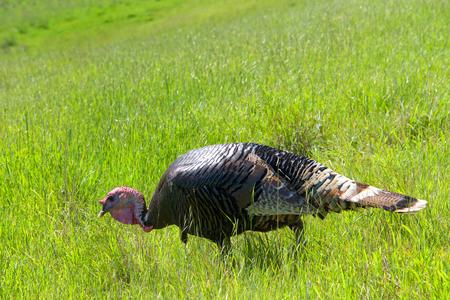 Male turkey walking through a grassy hillside field  in Northern California. Wild turkeys.