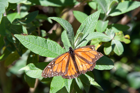tattered Monarch butterfly with broken wing on green leaves. It may be the most familiar North American butterfly, and is considered an iconic pollinator species. Top view