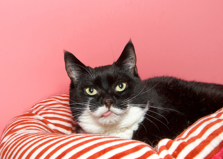 Portrait of a Tuxedo black and white cat laying on a red and white striped bed looking at viewer with tongue sticking out, no teeth to keep it in her mouth. Pink background with copy space. Stock Photo