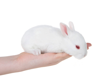 Young caucasian hand holding albino white baby bunny, curious, peaking over edge of fingers, pink eye open. Isolated on white.
