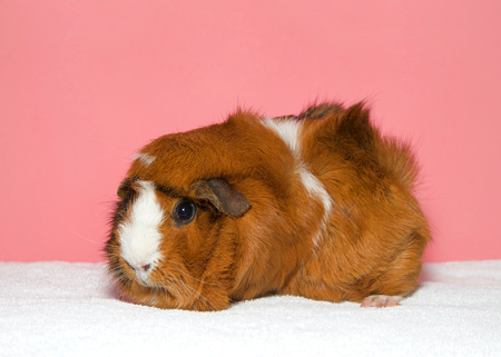 Portrait of a brown and white colored guinea pig. In Western society, the domestic guinea pig has enjoyed widespread popularity as a household pet, a type of pocket pet