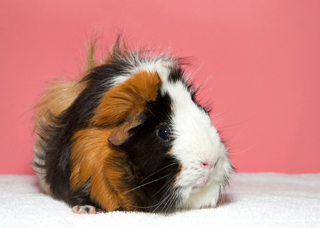 Portrait of a calico colored guinea pig. In Western society, the domestic guinea pig has enjoyed widespread popularity as a household pet, a type of pocket pet Imagens