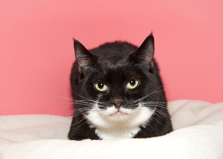 Portrait of a black and white tuxedo cat laying on a white blanket looking directly at viewer. Pink background. As of 2017, the domestic cat was the second-most popular pet in the U.S. 版權商用圖片
