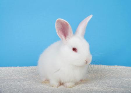 Adorabile coniglietto albino bianco accovacciato su una coperta di pelle di pecora con sfondo blu che guarda a destra gli spettatori. Un coniglio albino ha una combinazione di geni mutati che sovrascrive tutte le altre combinazioni Archivio Fotografico