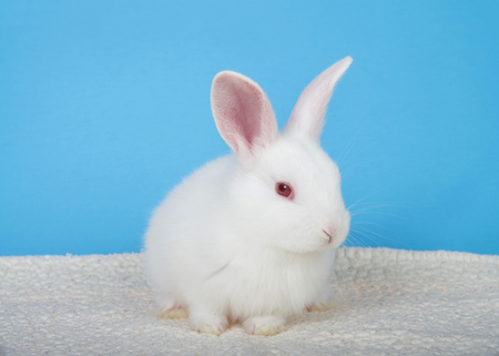 Adorable white albino baby bunny crouched down on sheepskin blanket with blue background looking to viewers right. An albino rabbit has a mutated gene combination that overrides all other combinations Imagens