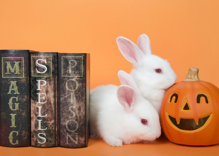 Two adorable white albino baby bunny next to magic, spells and poisons books sniffing a Jack-o-lantern on the other side. Orange background. Halloween themed animal humor.