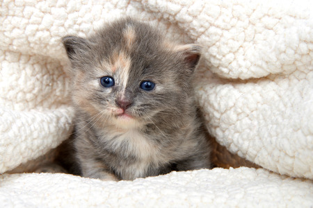 Adorable grey and orange diluted tabby kitten in a sheepskin bed looking directly at viewer, peaking out of the blanket bed. Foto de archivo