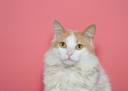 Portrait of a beautiful long haired white and tan cat looking directly at viewer with pink background. Stock Photo