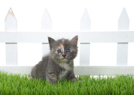 Adorable diluted tortie tabby kitten sitting in green grass in front of a white picket fence isolated on white background. Kitten looking directly at viewer. Stok Fotoğraf