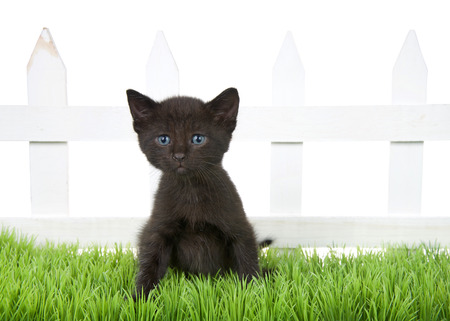 Adorable black tabby kitten sitting in green grass in front of a white picket fence isolated on white background. Kitten looking slightly to viewers left with blue eyes.