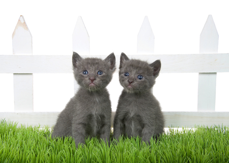 Two adorable grey tabby kitten sitting in green grass in front of a white picket fence isolated on white background. Kittens looking slightly to viewers left and up.