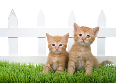 Two Adorable orange ginger tabby kittens sitting in green grass in front of a white picket fence isolated on white background. Kitten looking directly at viewer. Stok Fotoğraf