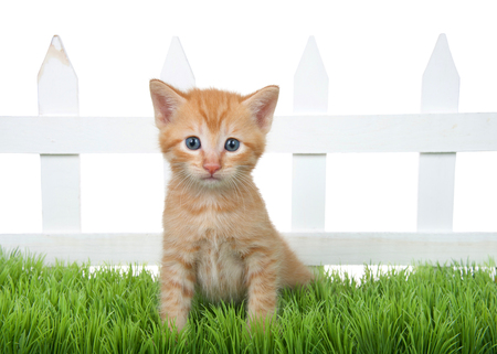 Adorable orange ginger tabby kitten sitting in green grass in front of a white picket fence isolated on white background. Kitten looking directly at viewer.