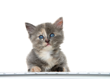 Adorable small diluted tortie kitten sitting at computer keyboard looking at viewer, isolated on white background. Entertainment, technology, gaming, education themes  Stok Fotoğraf