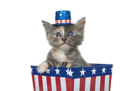 Tiny diluted tortie kitten sitting in a red white and blue patriotic box wearing hat looking directly at viewer with paw over side, isolated on white.