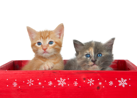 Two kittens in a red wooden box. Orange ginger tabby and a diluted tortie kittens isolated on white. Christmas holiday theme. Stok Fotoğraf