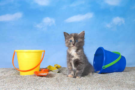 adorable diluted tortie kitten on litter sand beach looking directly at viewer, bright buckets with shovels, blue background sky with clouds. Stok Fotoğraf