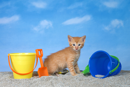 adorable orange ginger tabby kitten on litter sand beach looking directly at viewer, bright buckets with shovels, blue background sky with clouds.
