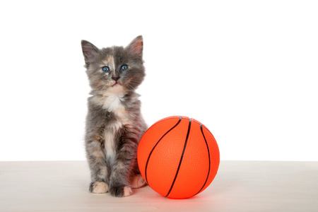 Adorable diluted tortie kitten sitting primly on a wood floor next to super sized basketball isolated on white. Animal antics fun sports theme.