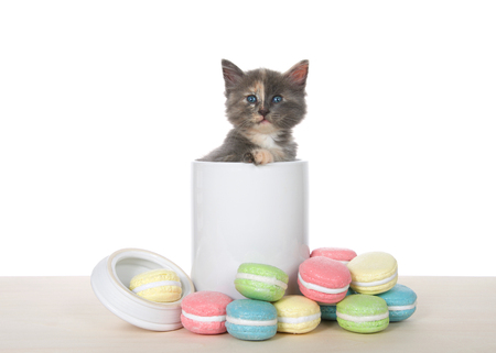 Adorable diluted tortie kitten sitting inside a cookie jar on a wood table with macaron sugar coated cookies on the table. Kitten looking directly at viewer. Isolated on white.