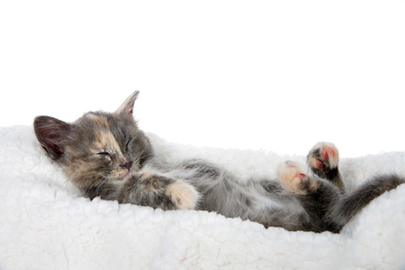 Adorable diluted tortie kitten sleeping upside down on a sheep skin blanket, paws upwards. Isolated on white background.