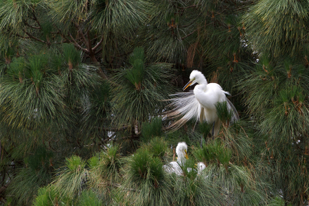 one adult Great Egret, also know as the common egret, perched in a Ponderosa Pine tree, preening. Three chicks in nest in front of it.