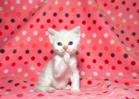 Close up of one adorable white kitten sitting on a pink polka dot blanket looking directly at viewer with one paw up to mouth as if shushing with a secret.