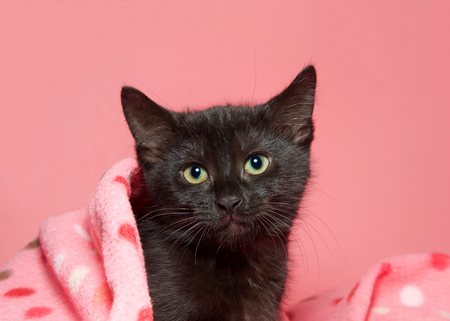 Portrait of an adorable black kitten peaking out from a pink polka dot blanket with pink background looking directly at viewer with gorgeous yellow eyes. Stok Fotoğraf