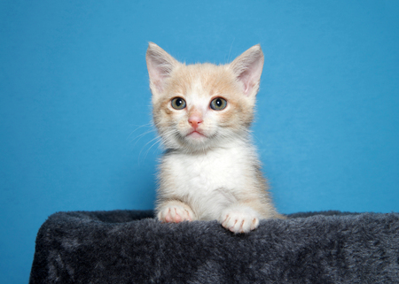 Portrait of an adorable buff and white kitten peaking over the side of a cat post looking at viewer, blue background with copy space