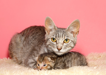 Female tan and black tabby cat, mother, with one week old kitten under her chin, laying on sheepskin blanket with pink background.