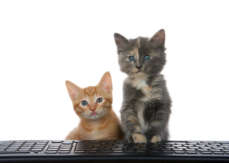 Close up of an orange tabby and diluted calico kitten at computer keyboard looking at viewer as if looking at computer monitor. Alert and attentive, curious. Animal antics