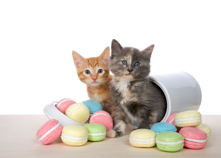Orange tabby and diluted calico kitten on a wood table crawling out of cookie jar, macaron cookies in bright colors on the table. Isolated on white. Animal antics Stok Fotoğraf