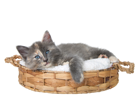 Diluted calico kitten laying on a sheepskin pad in a brown woven basket isolated on white looking directly at viewer with tired expression, paw hanging over the edge of her bed.