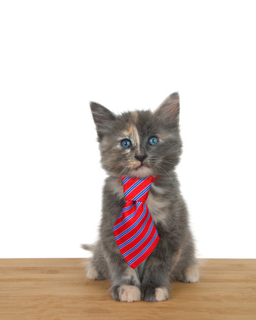 Portrait of an adorable diluted calico kitten sitting on a wood floor wearing a red and blue striped tie looking directly at viewer. Animal antics