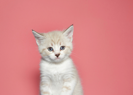 Portrait of a cream colored muted tabby kitten looking at viewer with skeptical expression. pink background Stok Fotoğraf