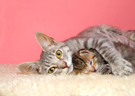 Portrait of a beautiful mother tabby cat laying with single baby between her arms, looking directly at viewer. Content. Stok Fotoğraf