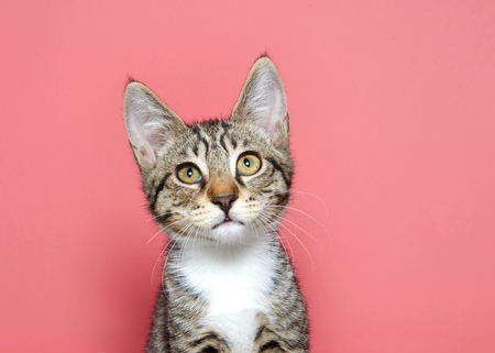 Portrait of an adorable tan black and white tabby kitten looking slightly up above viewer with curious expression. Pink background with copy space.