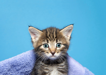 Portrait of an adorable black, tan and white tabby kitten peaking out from under a blanket looking at viewer. Blue background.