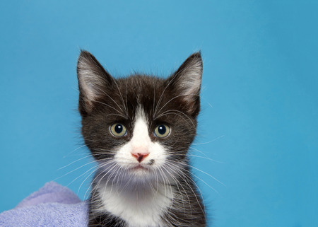 portrait of a tuxedo black and white kitten looking directly at viewer with bright green eyes. Blue background.