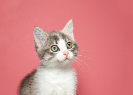 Portrait of a white kitten with gray facial markings looking to viewers left. Large adorable eyes. Pink background with copy space.