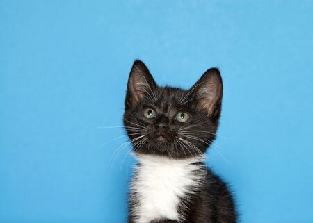 Portrait of a black and white tuxedo kitten looking up to viewers left. Blue background with copy space.