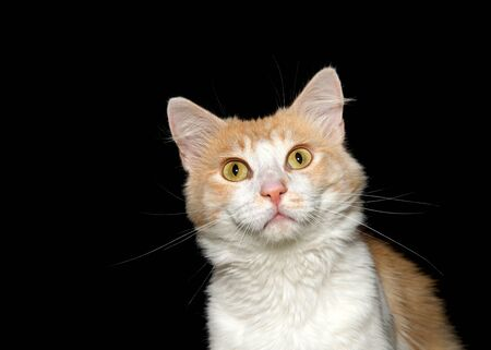 Close up portrait of a white and orange cat looking directly at viewer with large golden yellow eyes, black background with copy space.